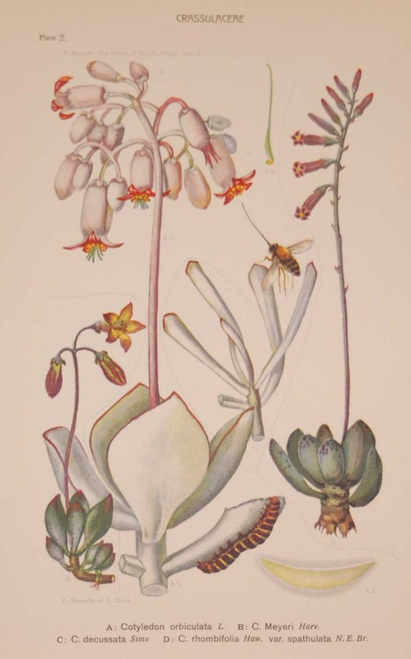 Original 1925 vintage botanical print titled Crassulaceae by Rudolph Marloth. The print was published as part of a set on the flora of South Africa.
