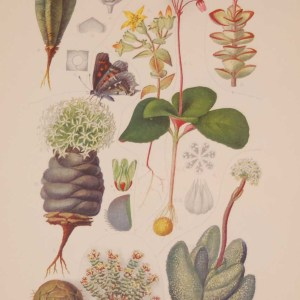 Original 1925 vintage botanical print titled Crassulaceae Plate 5 by Rudolph Marloth. The print was published as part of a set on the flora of South Africa.