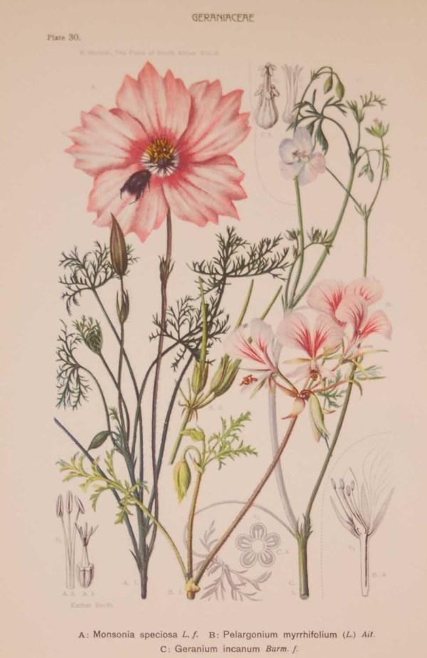 Original 1925 vintage botanical print titled Geraniaceae Plate 30 by Rudolph Marloth
