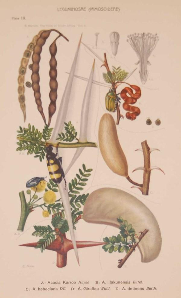 Original 1925 vintage botanical print titled Leguminoseae Plate 18 by Rudolph Marloth