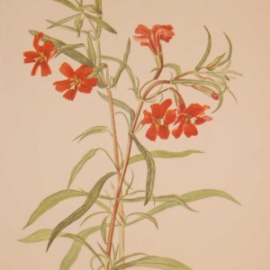 Vintage botanical print from 1925 by Mary Vaux Walcott titled Red Monkeyflower, stamped with initials and dated bottom left