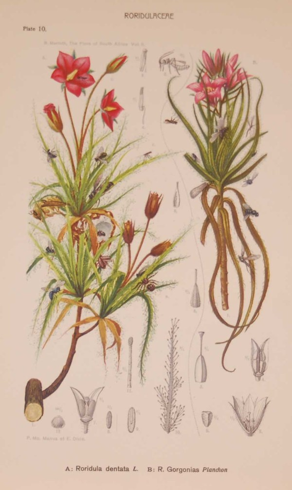 Original 1925 vintage botanical print titled Roridulaceae Plate 10 by Rudolph Marloth. The print was published as part of a set on the flora of South Africa.