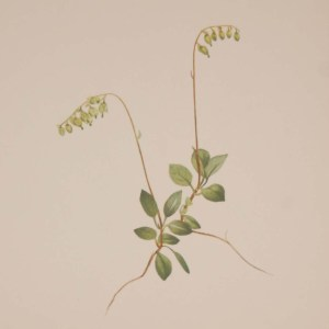 Vintage botanical print from 1925 by Mary Vaux Walcott titled Sidebells Pyrola , stamped with initials and dated bottom left.