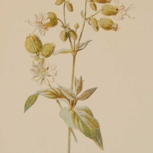 Antique botanical print titled Bladder Campion by F E Hulme. The print was published circa 1895, this set of prints are referenced as being produced between 1885 and 1895.