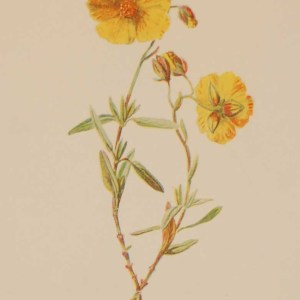 Antique botanical print titled Common Rock Rose by F E Hulme. The print was published circa 1895, this set of prints are referenced as being produced between 1885 and 1895.