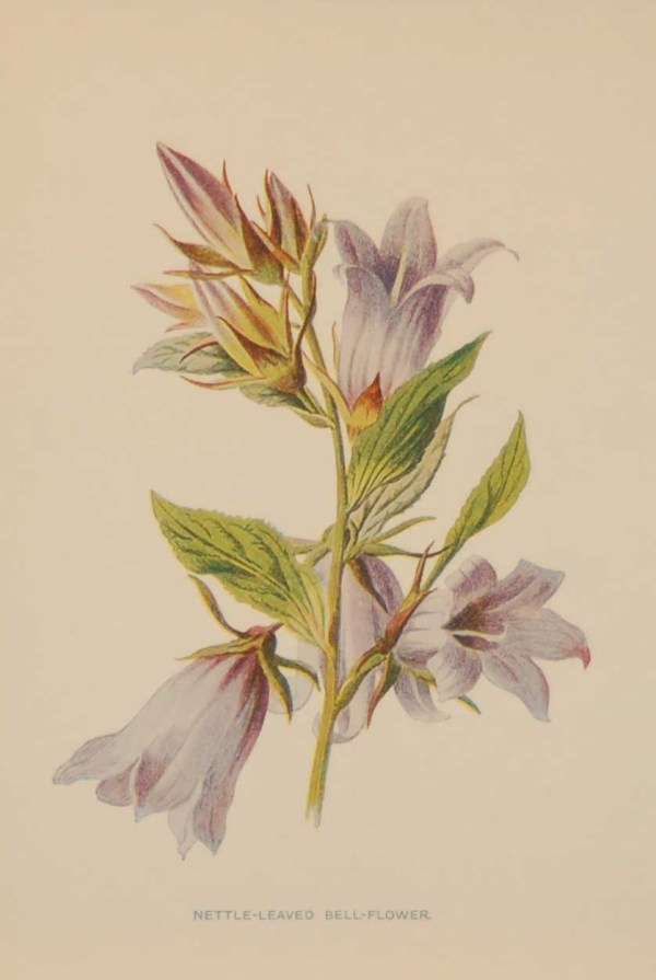 Antique botanical print titled Nettle Leaved Bell-Flower by F E Hulme. The print was published circa 1895.