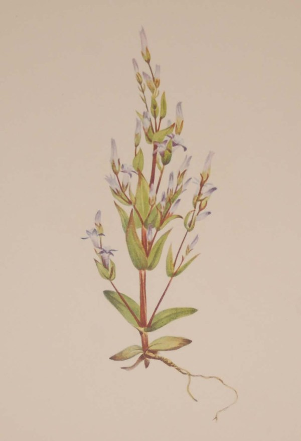 Vintage botanical print from 1925 by Mary Vaux Walcott titled Ladder Gentian, stamped with initials and dated bottom left.