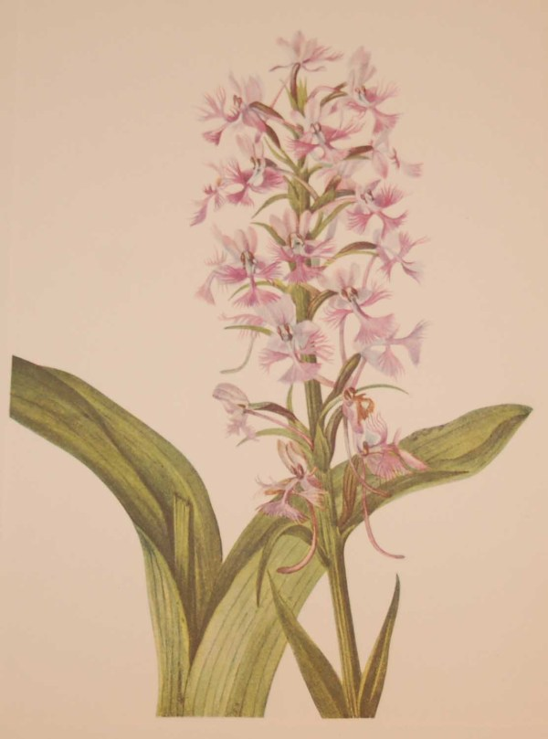 Vintage botanical print from 1925 by Mary Vaux Walcott titled Large Purple Fringe Orchid , stamped with initials and dated bottom left.