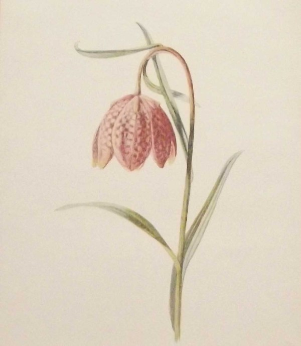 Antique botanical print titled Fritillary by F E Hulme. The print was published circa 1895.