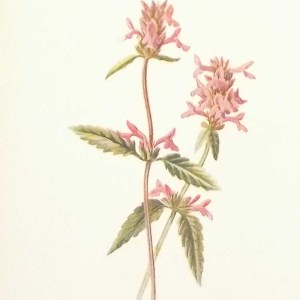 Antique botanical print titled Betony by F E Hulme. The print was published circa 1895, this set of prints are referenced as being produced between 1885 and 1895.