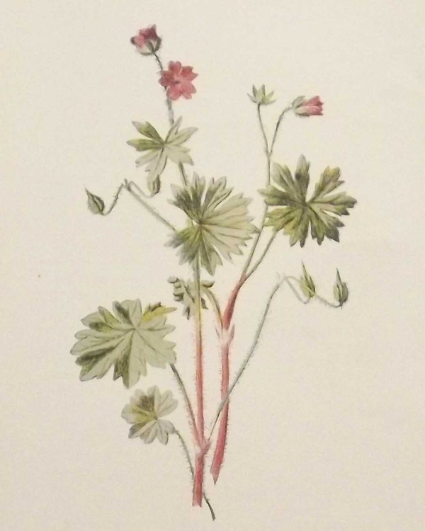 Antique botanical print titled Dove's Foot Crane's Bill by F E Hulme. The print was published circa 1895.
