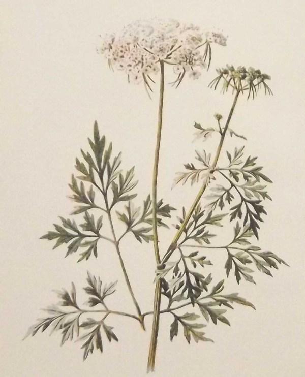 Antique botanical print titled Antique botanical print titled Fool's Parsley by F E Hulme.