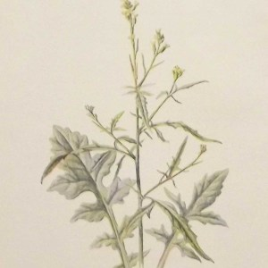 Antique botanical print titled Hedge Mustard by F E Hulme. The print was published circa 1895.