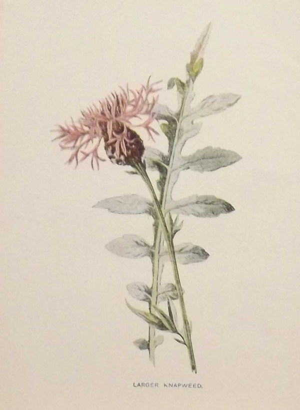 Antique botanical print titled Large Knapweed by F E Hulme. The print was published circa 1895.