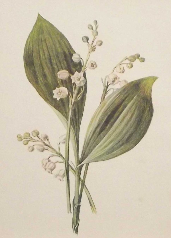 Antique botanical print titled Antique botanical print titled Lily of the Valley by F E Hulme.