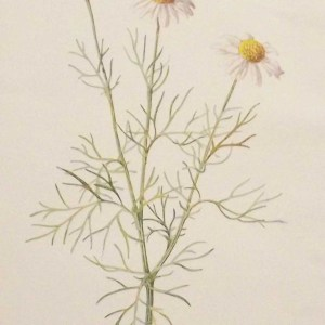 Antique botanical print titled Scentless Mayweed by F E Hulme. The print was published circa 1895.