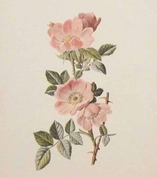 Antique botanical print titled Sweet Briar by F E Hulme. The print was published circa 1895.