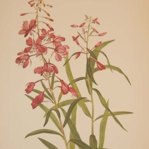 Vintage botanical print from 1925 by Mary Vaux Walcott titled Fireweed, stamped with initials and dated bottom left.