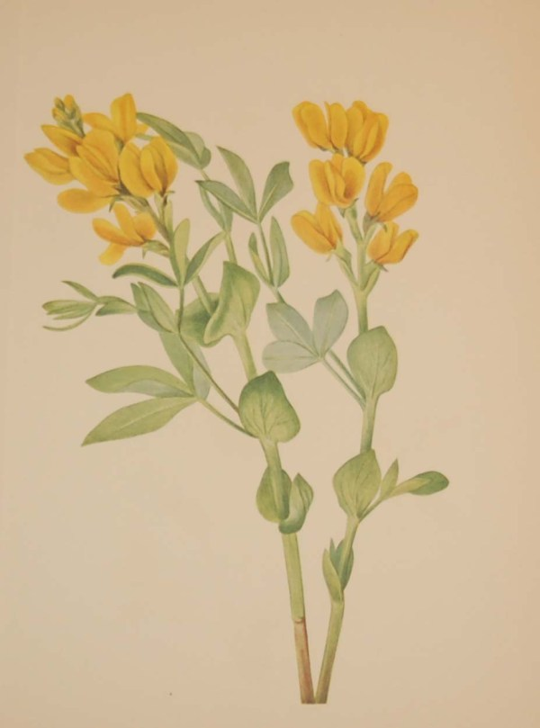 Vintage botanical print from 1925 by Mary Vaux Walcott titled Goldenpea, stamped with initials and dated bottom left.