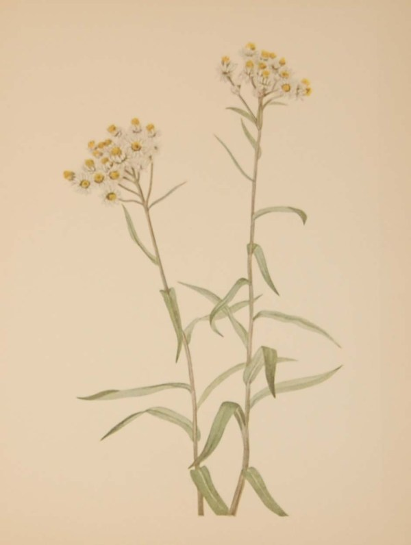 Vintage botanical print from 1925 by Mary Vaux Walcott titled Pearl Everlasting, stamped with initials and dated bottom left.