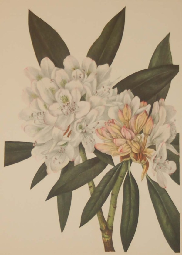 Vintage botanical print from 1925 by Mary Vaux Walcott titled Rosebay Rhododendron, stamped with initials and dated bottom left.