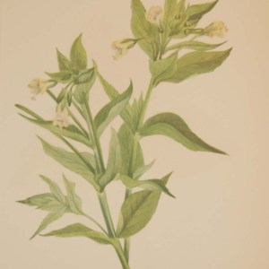 Vintage botanical print from 1925 by Mary Vaux Walcott titled Yellow Willow Weed, stamped with initials and dated bottom left.