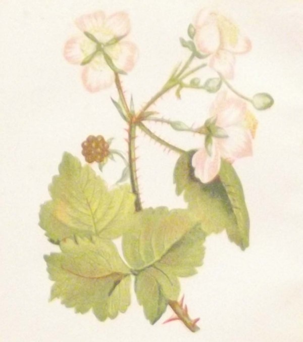 Antique Botanical print by Anne Pratt titled Common Bramble of Blackberry. Pratt was one of the best known botanical illustrators of the time.