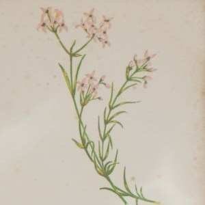 Antique Botanical prints by Anne Pratt titled, Common Daisy, Small Woodruff. Pratt was one of the best known botanical illustrators of the time.
