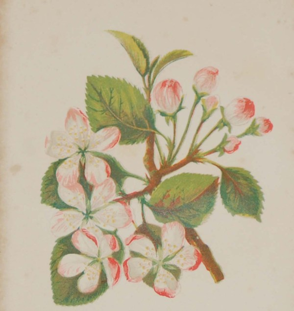 Antique Botanical prints by Anne Pratt titled, Crab Apple, Common Centaury. Pratt was one of the best known botanical illustrators of the time.