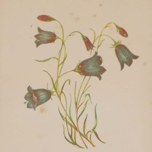 Antique Botanical prints by Anne Pratt titled, Harebell, Wild Hyacinth. Pratt was one of the best known botanical illustrators of the time.