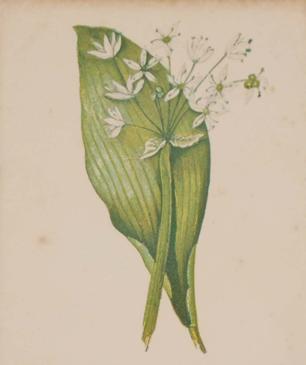 Antique Botanical prints by Anne Pratt titled, Broad-Leaved Garlic, White Dead Nettle. Pratt was one of the best known botanical illustrators of the time.