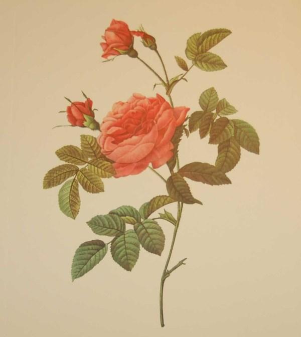 Beautiful vintage print after the legendary painter of Roses, P J Redouté, titled, Rosa Inermis, Rosier Turbines sans épines.