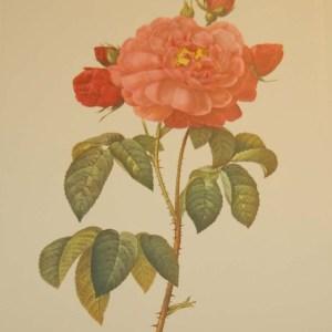 Beautiful vintage botanical print after the legendary painter of Roses, P J Redouté, titled, Galicia Aurelianensis, La Duchesse d'Orleans.