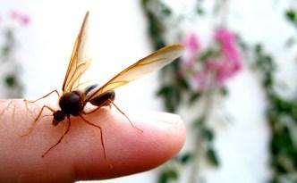 Sompopo The Giant Guatemalan Ant Antiguadailyphoto Com