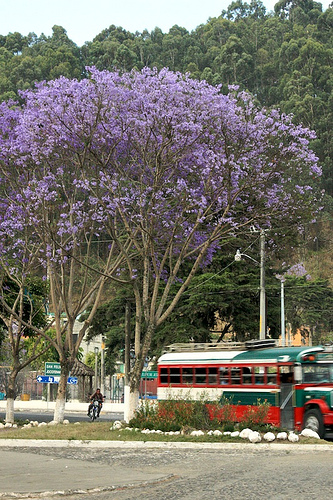Jacarandas Trees Wear Violet for Lent