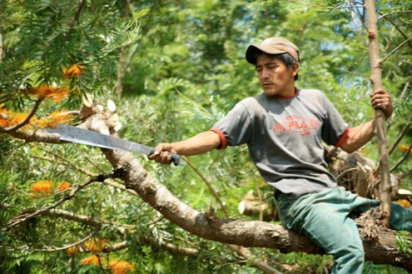 Pruning the Gravileas Trees Revisited