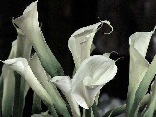 Guatemalan Flowers: Cartuchos or Callas Lilies by Rudy Girón