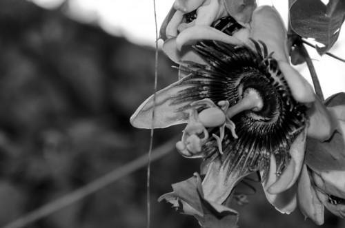 Flor de la Pasión by Arturo Godoy