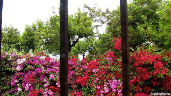 Jardín Antigüeño: Colorful Bougainvilleas by Rudy Girón