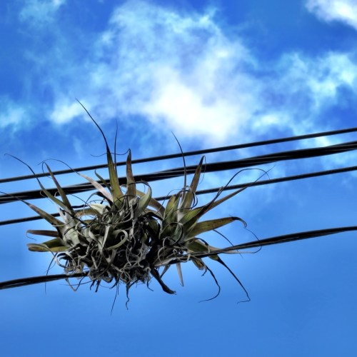 Air plants are known as Gallitos in Guatemala
