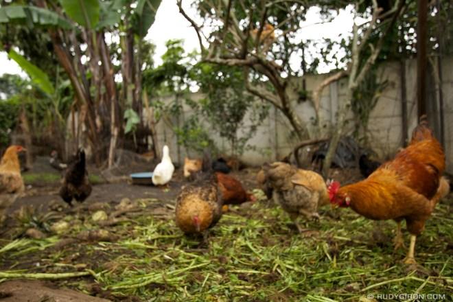 Rudy Giron: Organic Tours at Caoba Farms &emdash; Free Run Hens at Caoba Farms