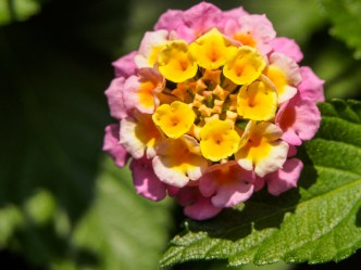 Guateflora: Cinco negritos or Lantana camara by RUDY GIRON