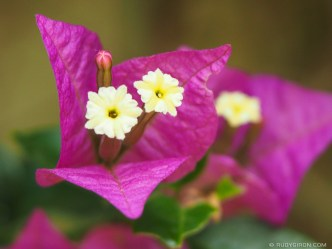Fuchsia Bougainvillea close-up