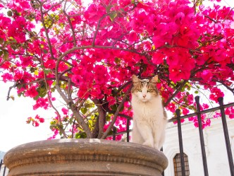 Cat against bougainvillea flowers