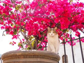 Cat against bougainvillea flowers