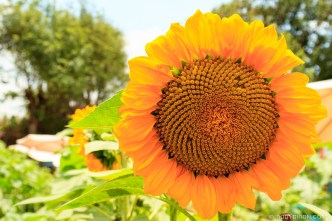 Giant Sunflowers from Antigua Guatemala by RUDY GIRON