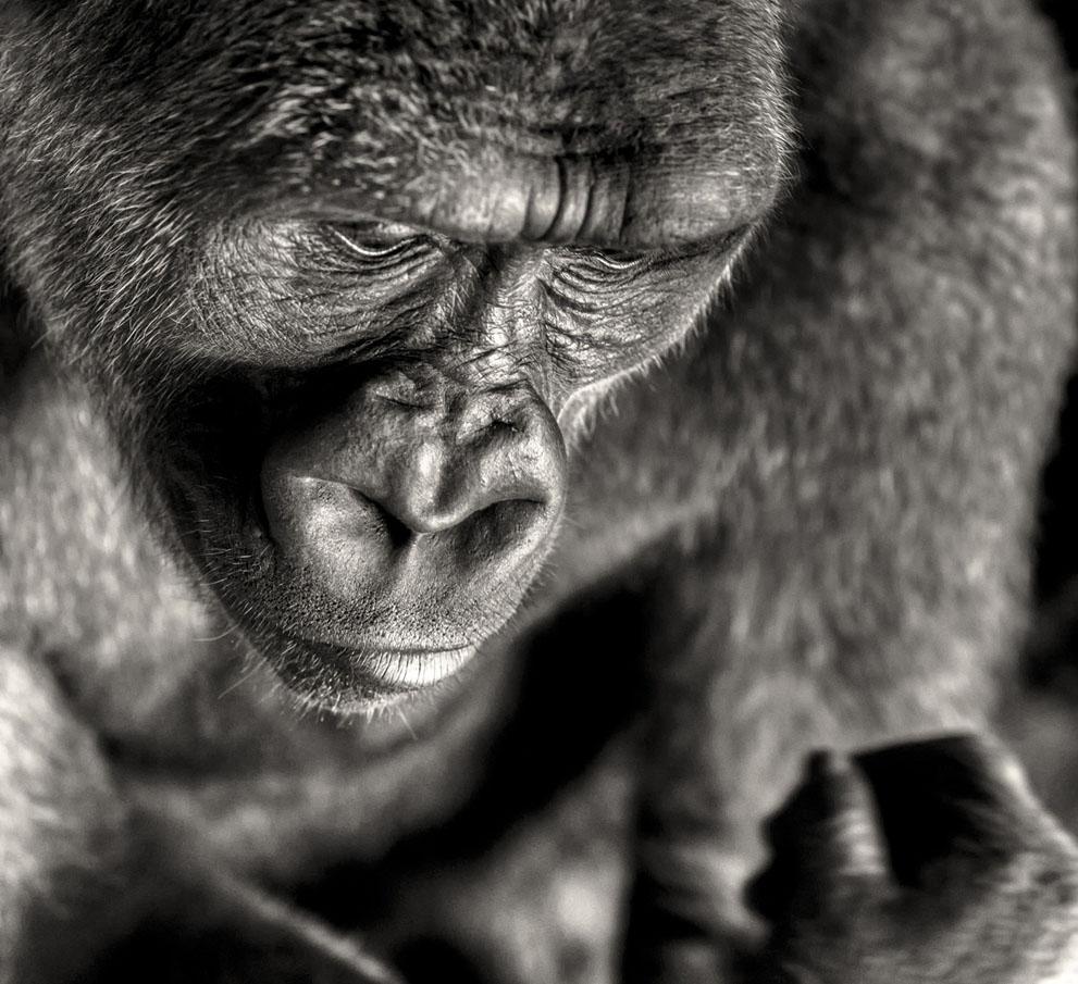 Μέρος της σειράς για γορίλες. Οι πίθηκοι χάνουν το φυσικό τους περιβάλλον, λόγω της απληστίας του ανθρώπου. (© Regis Boileau, Γαλλία)