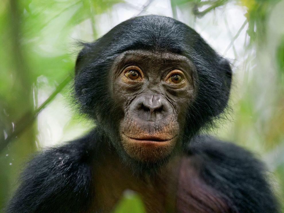 Μπονόμπο στη Λαϊκή Δημοκρατία του Κονγκό