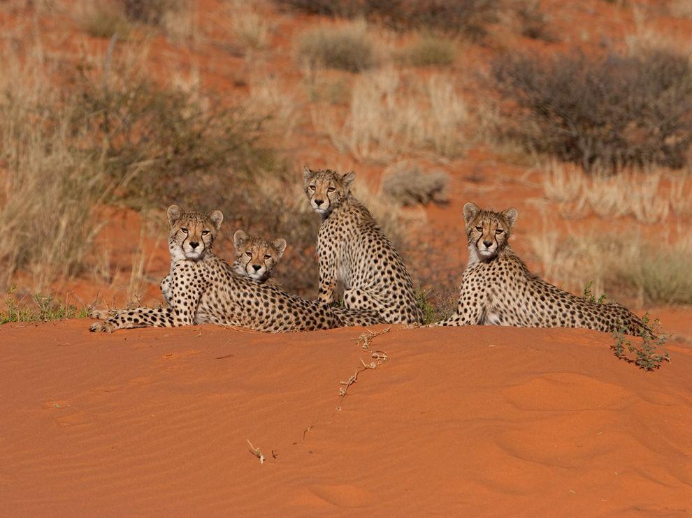 Γατόπαρδοι στην έρημο Καλαχάρι