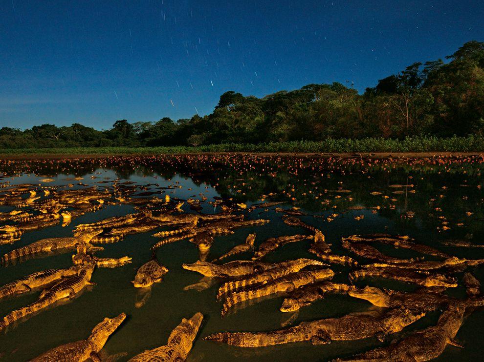 Αλλιγάτορες τη νύχτα σε ποταμό της Βραζιλίας